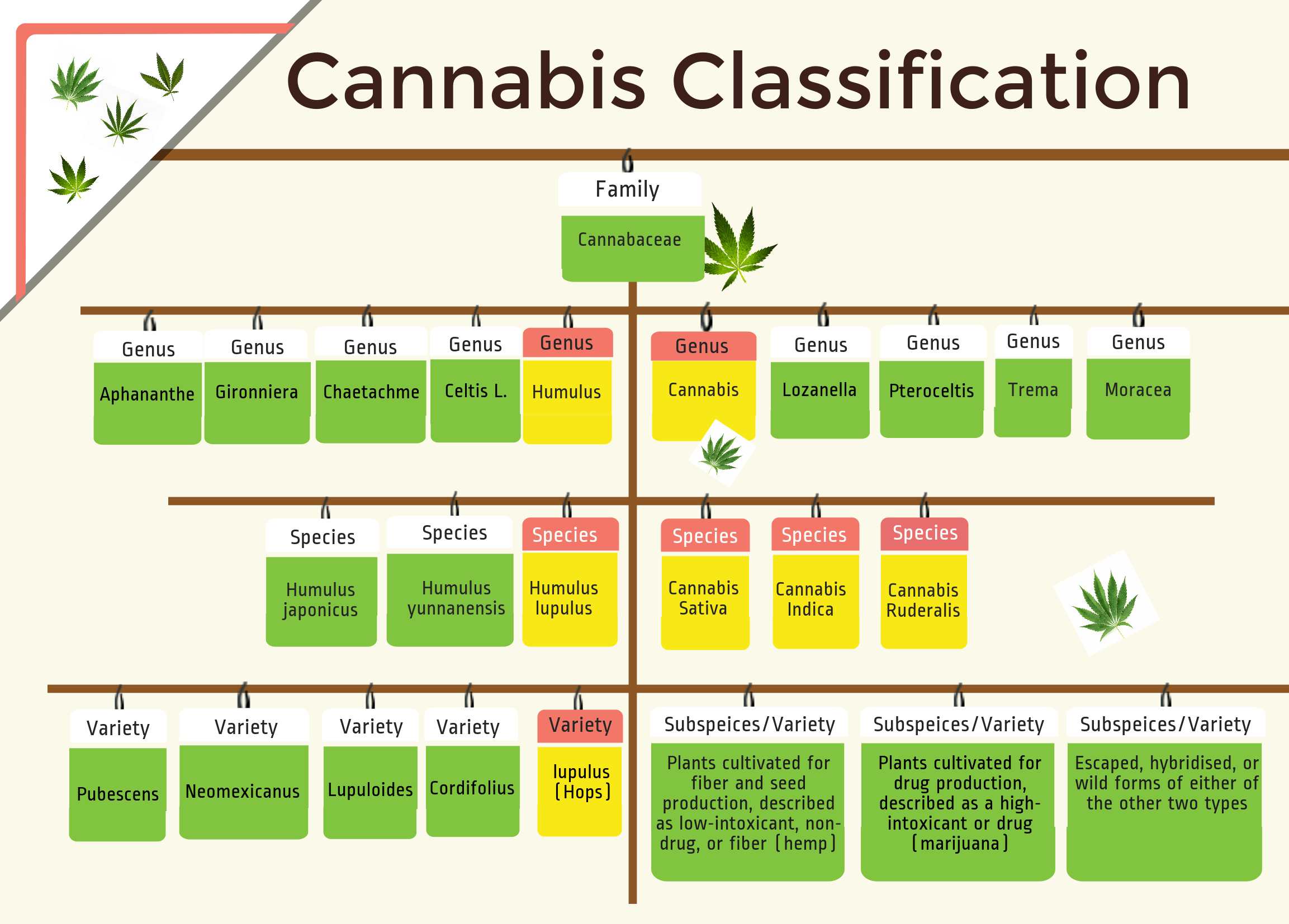 Cannabis taxonomy and geneology tree